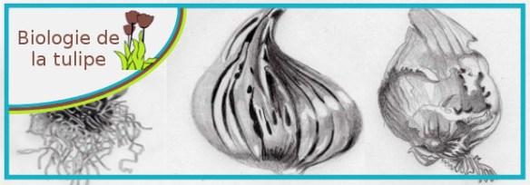 biologie de la tulipe