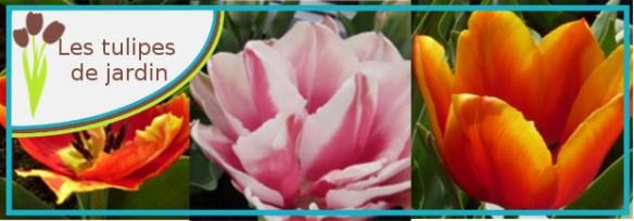 tulipe jardin