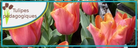 tulipe pedagogique