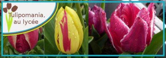 tulipomania lycee