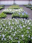 Pensées en fleurs : large choix de couleurs