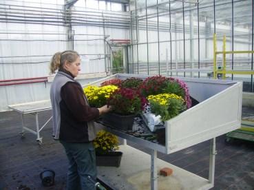 Virginie réalisant des coupes de chrysanthèmes