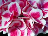 Hortensia bicolore