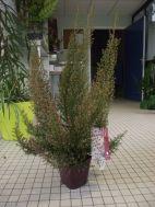Bruyère arborescente