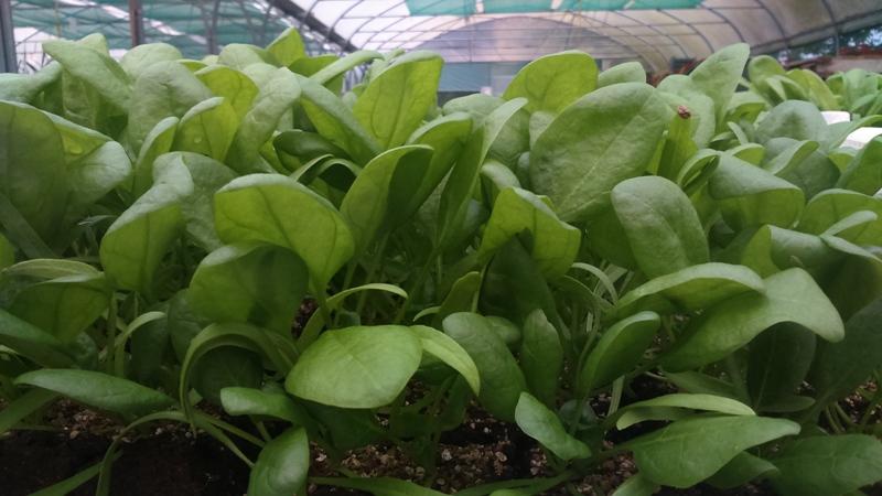Plants d'épinards