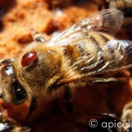 Varroa abeille