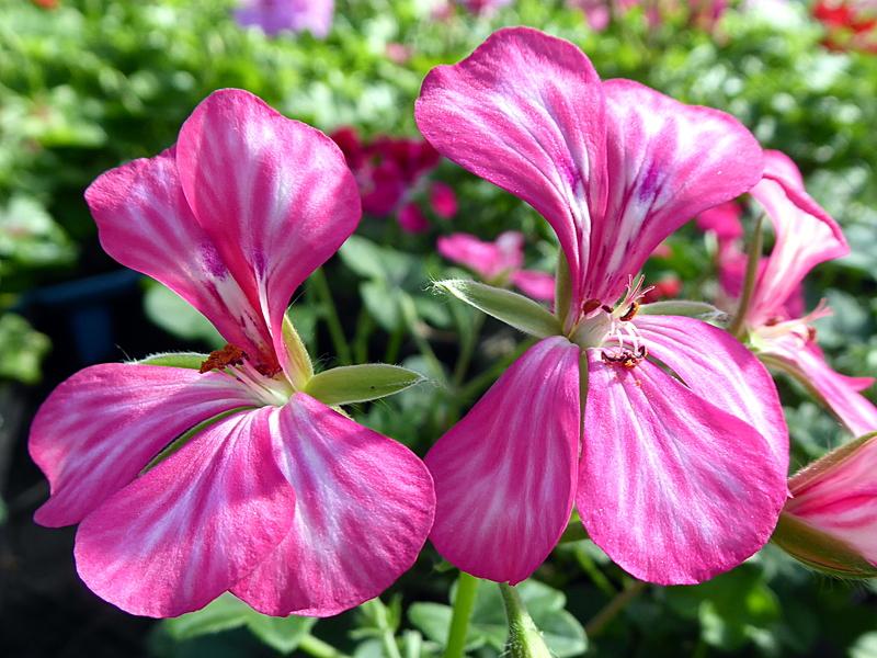 pellino rose bicolore.resized