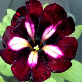 surfinia rose et violet