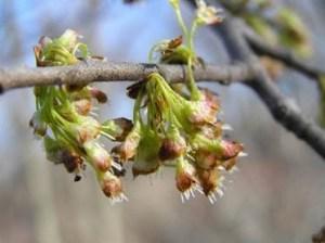american elm flowers