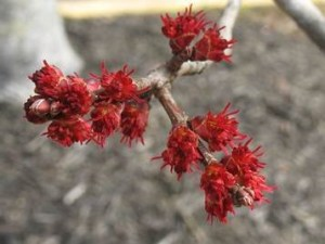 female red maple flowers