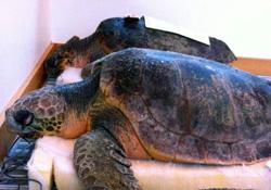 stranded-sea-turtles