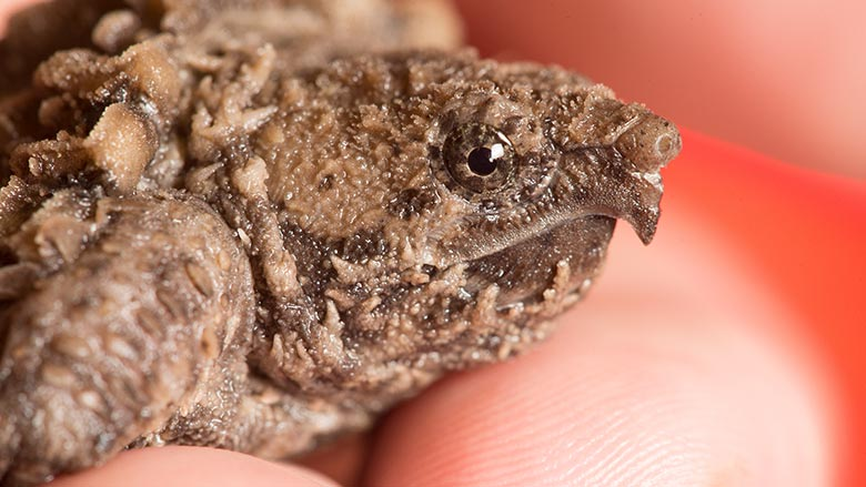 Close-up of alligator snapping turtle