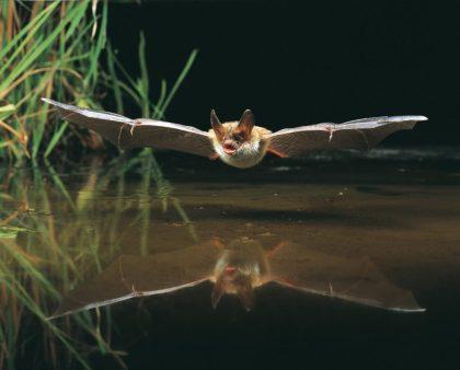 Bechsteinfledermaus auf Jagd © NABU/Dietmar Nill