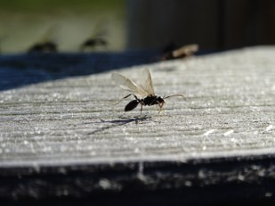 Ameisenhochzeit auf Trischen