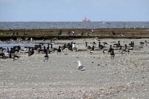 Gewöhnungsbedürftiger Anblick: Gänse und Möwen am Strand (Foto: M. Maier)