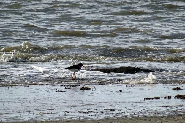 Austernfischer (Hematropus ostralegus) an der Wasserkante (Foto: M. Maier)