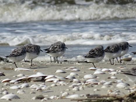 Sanderlinge (Calidris alba) am Strand von Trischen I