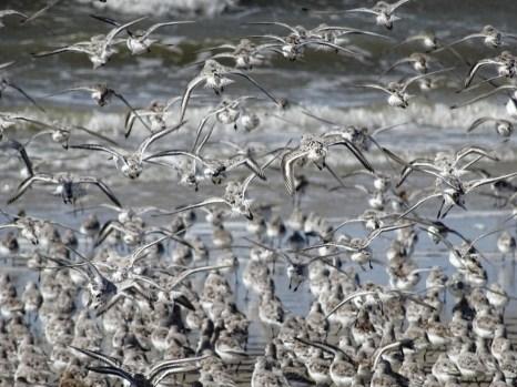 Sanderlinge (Calidris alba) am Strand