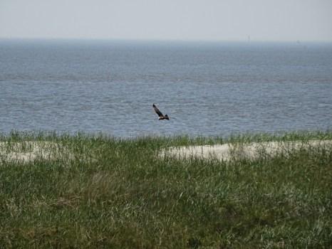 Jagendes Rohrweihenweibchen an den Dünen