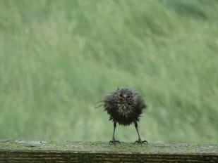 Klitschnass: nach einem Regenguss suchen die Stare im Windschatten der Hütte eine Möglichkeit sich zu erholen.