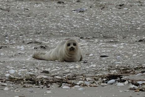 Ein Heuler am Strand von Trischen
