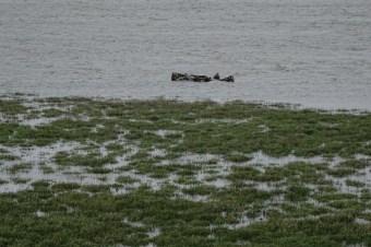 Hochwasser überflutet weite Teile der Salzwiese