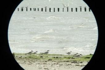 Flügge Flussseeschwalben (Sterna hirundo) am Strand