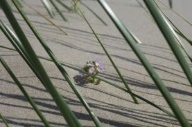 Nur noch die Blüte schaut raus: Meersenf (Cakile maritima) von Sand verschüttet (Foto: Tore J. Mayland-Quellhorst).
