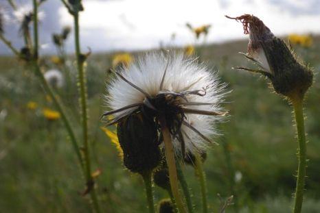 Pusteblume einer Gänse-Kratzdistel (Sonchus arvensis; Foto: Tore J. Mayland-Quellhorst).