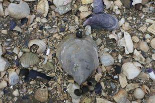 Schale einer Europäischen Auster (Foto: Tore J. Mayland-Quellhorst).