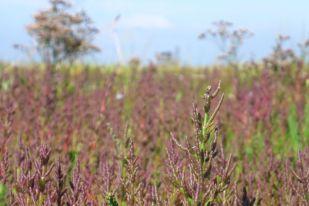 Herbstlicher Queller (Salicornia; Foto: Tore J. Mayland-Quellhorst).