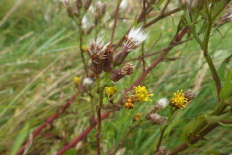Strandaster (Aster tripolium) nach Sturm: Blütenblätter verloren (Foto: Tore J. Mayland-Quellhorst).