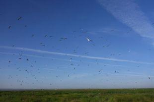 Fliegende Möwen (Foto: Tore J. Mayland-Quellhorst).