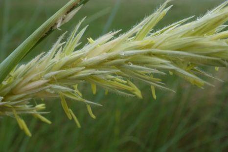 Blüten des Strandroggens (Leymus arenarius; Foto: Tore J. Mayland-Quellhorst).