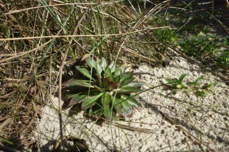 Blattrosette einer Nachtkerze (Oenothera) hat den Winter überstanden (Foto: Tore J. Mayland-Quellhorst).