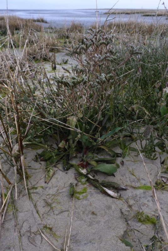 Strandflieder (Limonium vulgaris) noch mit altem Blütenstand (Foto: Tore J. Mayland-Quellhorst).