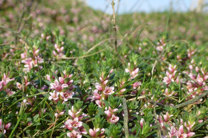 Rosa und grüner Teppich aus Milchkraut (Glaux maritima; Foto: Tore J. Mayland-Quellhorst).