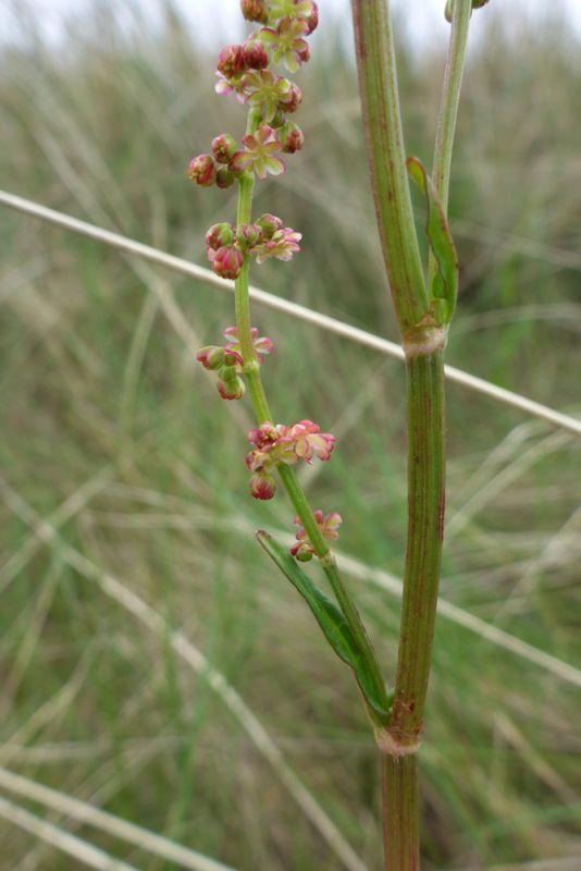 Rötliche Wiesen-Sauerampfer-Blüten (Rumex acetosa; Foto: Tore J. Mayland-Quellhorst).