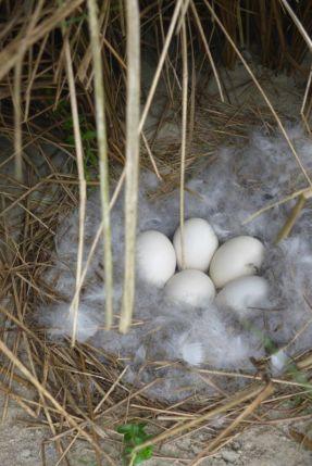 Nest einer Brandgans (Tadorna tadorna) unter Grasbüschel (Foto: Tore J. Mayland-Quellhorst).