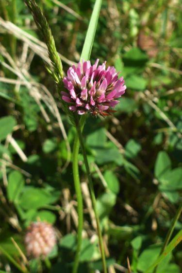 Blütestand vom Erdbeerklee (Trifolium fragiferum; Foto: Tore J. Mayland-Quellhorst).