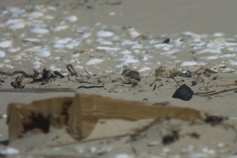 Gut versteckt: Sandregenpfeifer-Küken (Charadrius hiaticula) am Strand (Foto: Tore J. Mayland-Quellhorst).