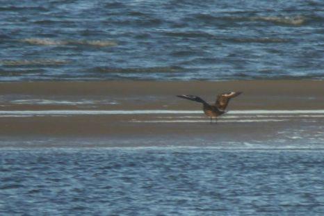 Eine Skua (Stercocarius skua) landet auf Sandbank (Foto: Tore J. Mayland-Quellhorst).