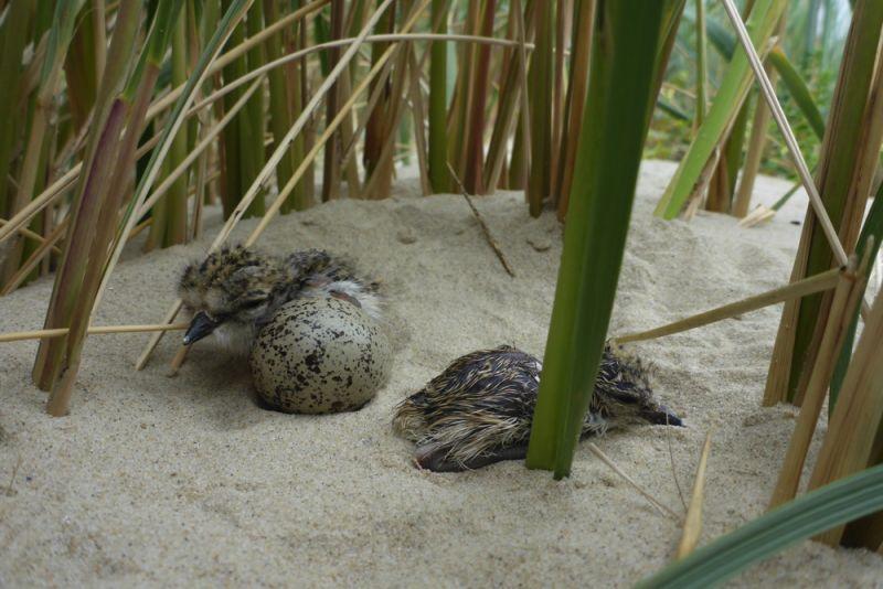 Frisch geschlüpfte Sandregenpfeifer-Küken (Charadrius hiaticula; Foto: Tore J. Mayland-Quellhorst).