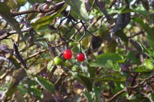 Leuchtend rote Früchte hängen im Bittersüßen Nachtschatten (Solanum dulcamara; Foto: Tore J. Mayland-Quellhorst).