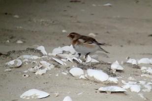 Schneeammer (Calcarius nivalis) am SüdWest-Strand (Foto: Jonas Kotlarz)