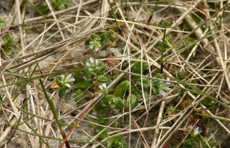 Das Fünfmännige Hornkraut (Cerastium semidecandrum) blüht ebenfalls in der Düne (Foto: Jonas Kotlarz)