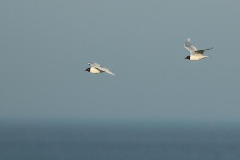 Schwarzkopfmöwen-Paar (Larus melanocephalus) fliegt an der Hütte vorbei (Foto: Jonas Kotlarz)