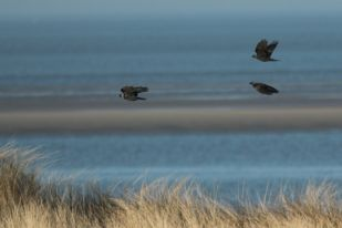 Durchziehende Dohlen (Corvus monedula; Foto: Jonas Kotlarz)