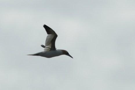 Basstölpel (Morus bassanus) überfliegt die Insel Trischen (Foto: Jonas Kotlarz)