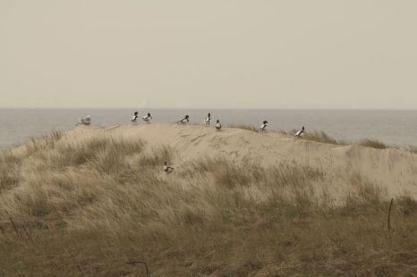 Brandgänse (Tadorna tadorna) balzen auf der wachsenden Düne (Foto: Jonas Kotlarz)
